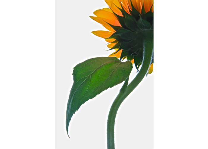 "Steve McMahon - Sunflower | Digital Imaging | 36"" x 24"" 