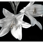 "David Patria - Stark Lily | Photograph | 16"" x 20"" 
