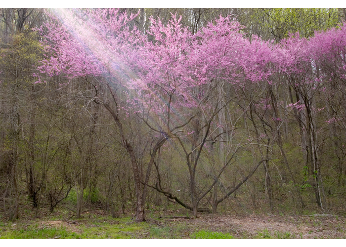 "Nancy Hopwood - Light Beam Red Bud | Photograph | 16"" x 20"" 